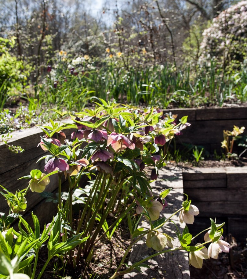 I grow hellebores in raised Oak sleeper beds that frame the front garden.