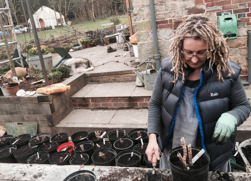 potting up Dahlia tubers