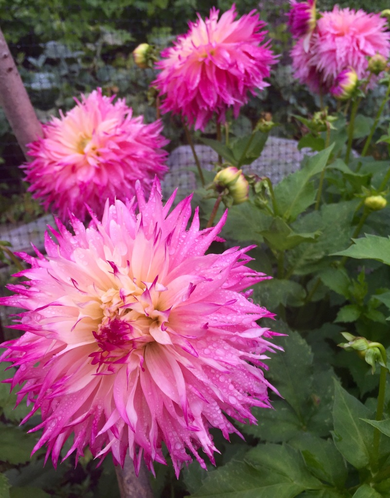 Frilly Pink Dahlia